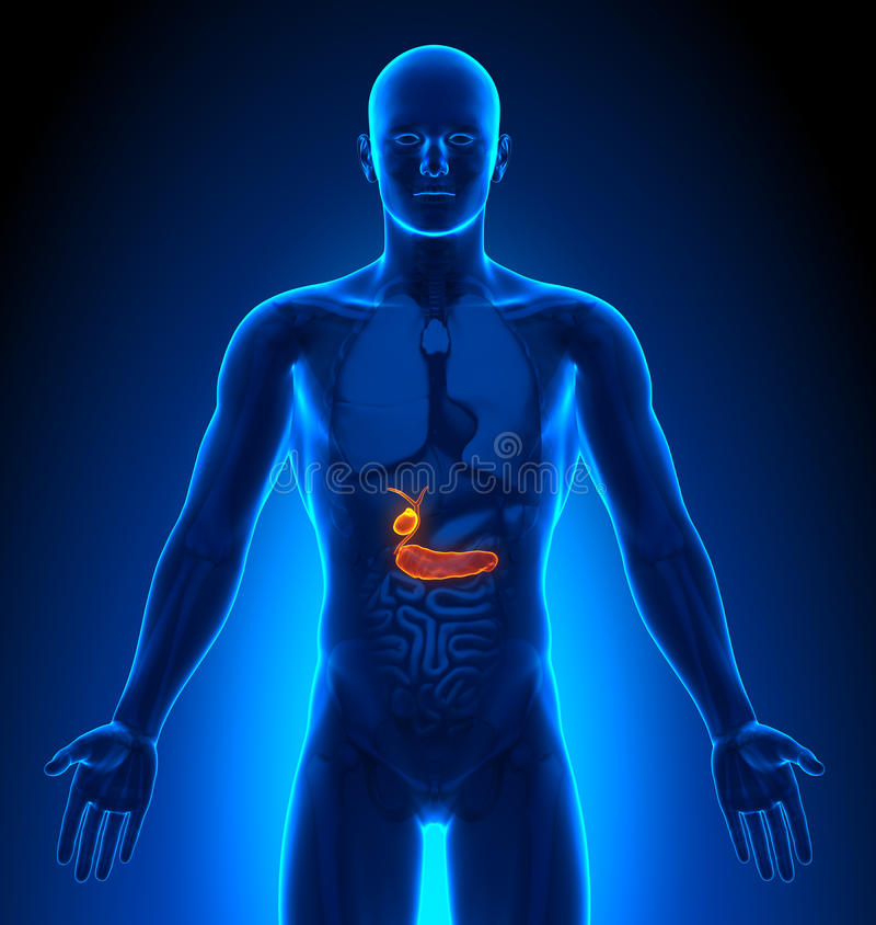 Avbilda - Male organ - Gallbladder/bukspottkörtel för läkarundersökning royaltyfri illustrationer