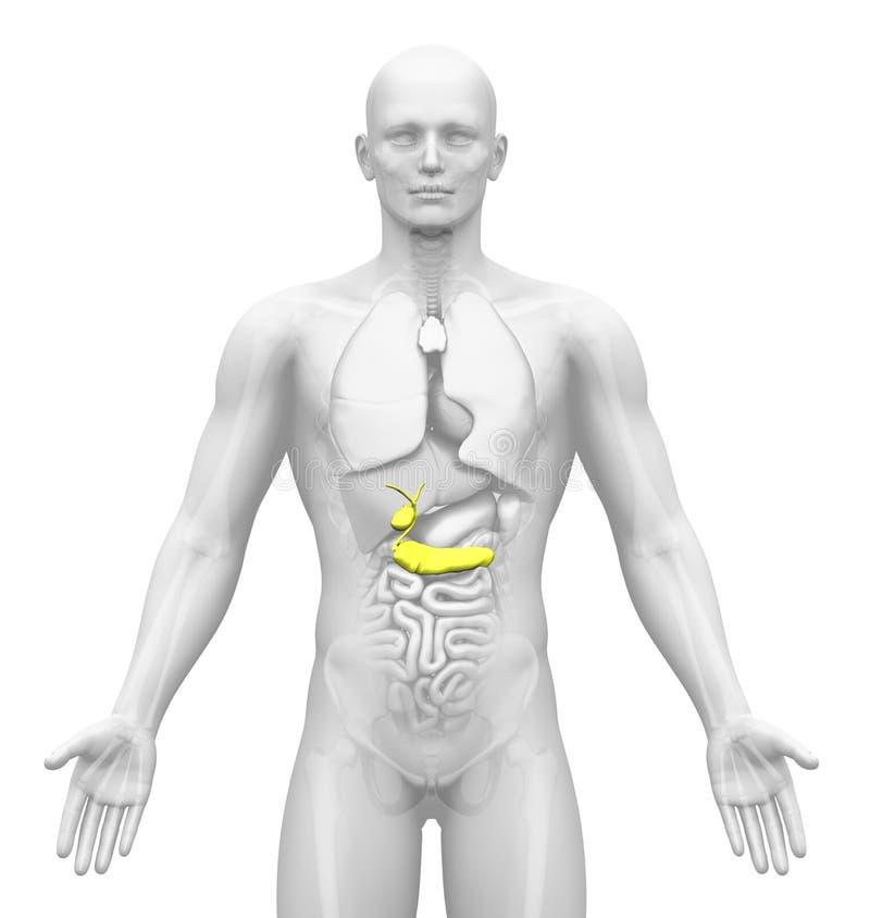 Avbilda - Male organ - Gallbladder/bukspottkörtel för läkarundersökning stock illustrationer