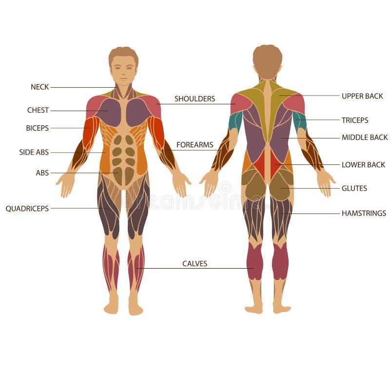 Människokropp muskel royaltyfri illustrationer
