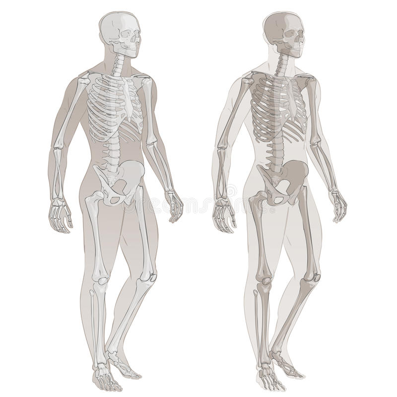 Människokropp och skelett royaltyfri illustrationer