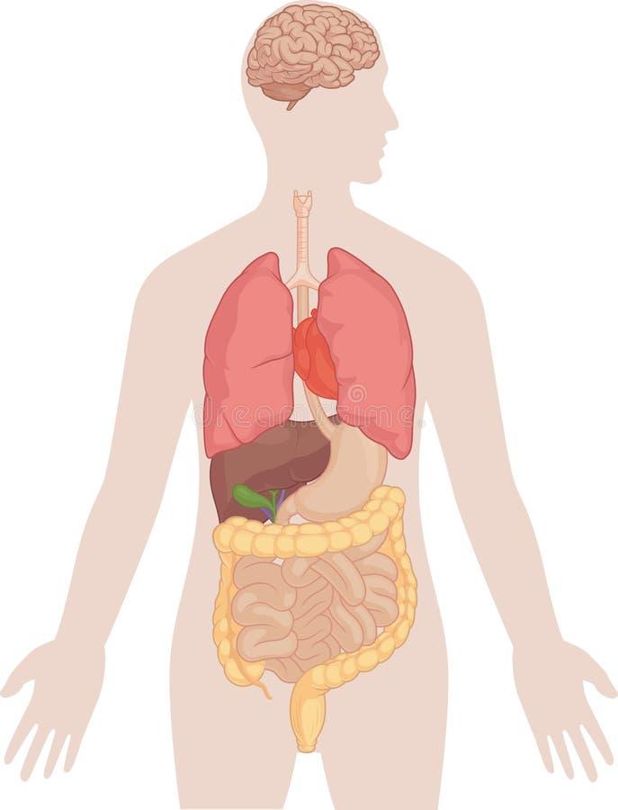 Människokroppanatomi - hjärna, lungor, hjärta, lever, inälvor royaltyfri illustrationer
