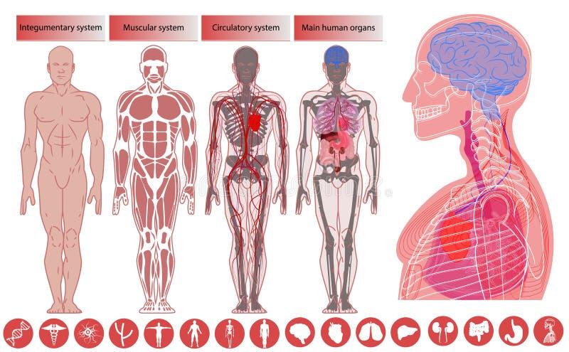 Människokroppanatomi, medicinsk utbildning vektor illustrationer
