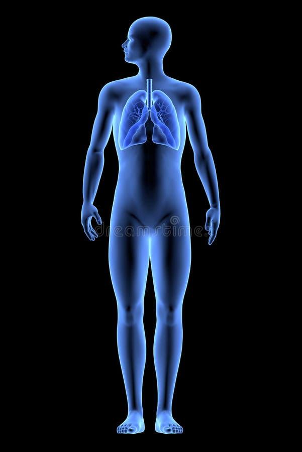 Människokroppen - lungor royaltyfri illustrationer
