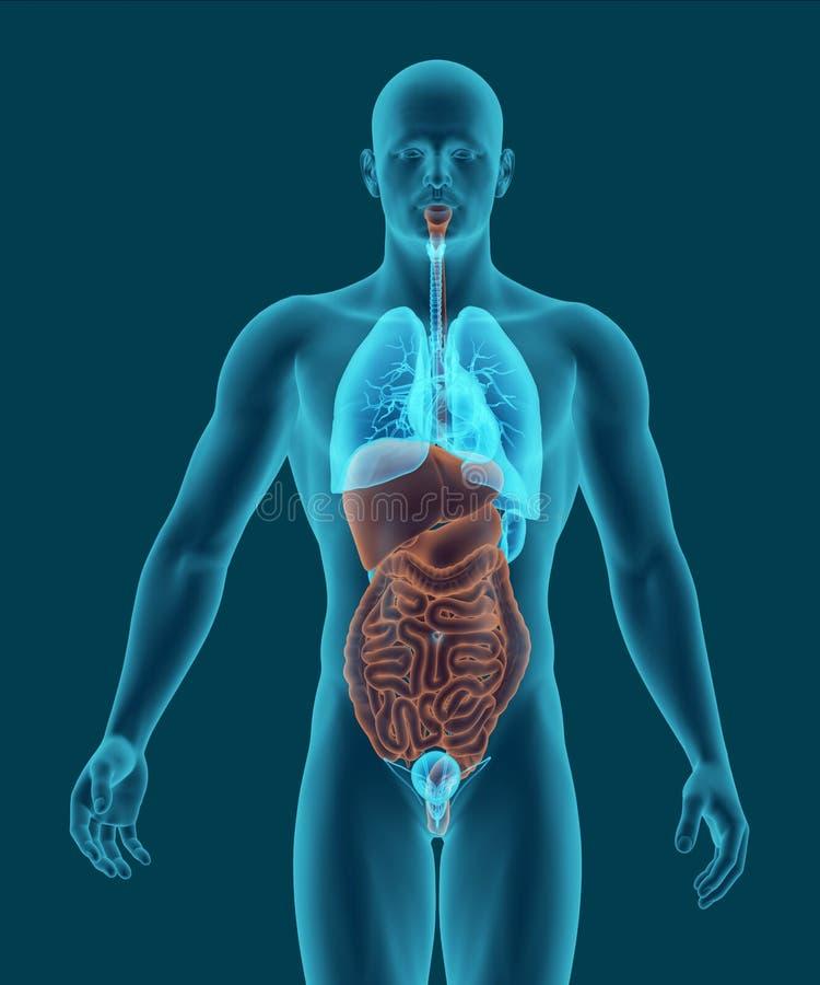 Människokroppen med inre organ 3d för digestivkexsystemet framför royaltyfri illustrationer