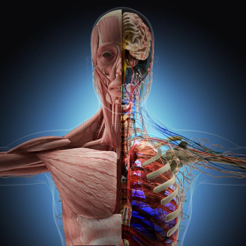 Människokroppen vid röntgenstrålar på blå bakgrund royaltyfri illustrationer