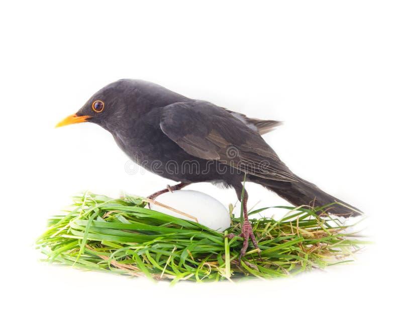 Männliche Amsel im Nest mit unverhältnismäßig großem Ei lizenzfreies stockfoto