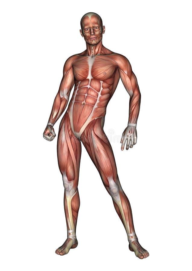 Männliche Anatomie-Zahl lizenzfreie abbildung