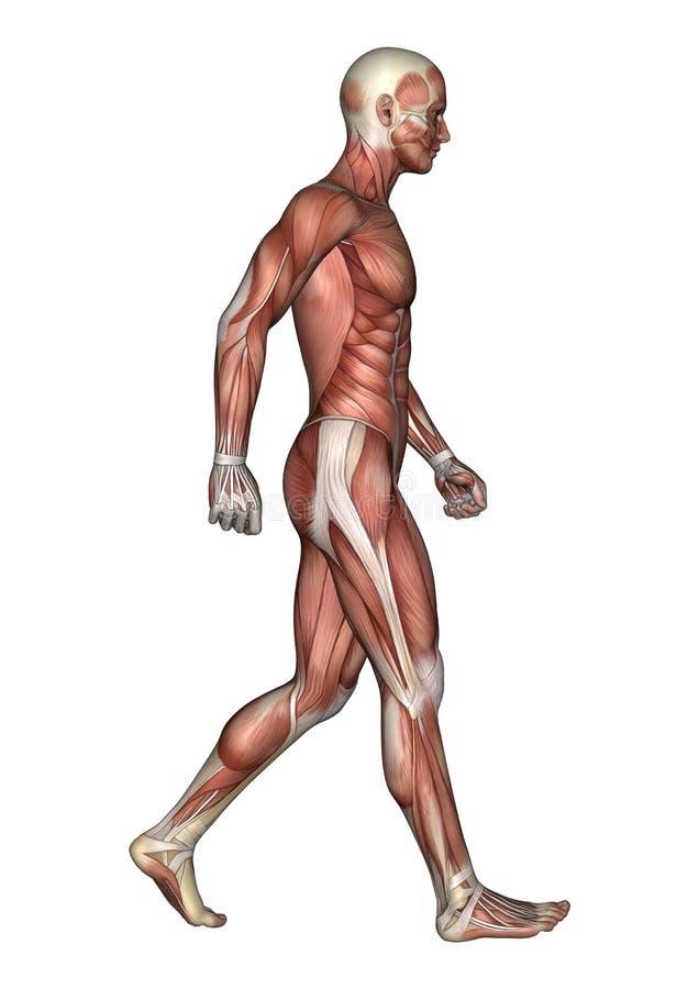 männliche Anatomie-Zahl der Wiedergabe-3D auf Weiß stock abbildung