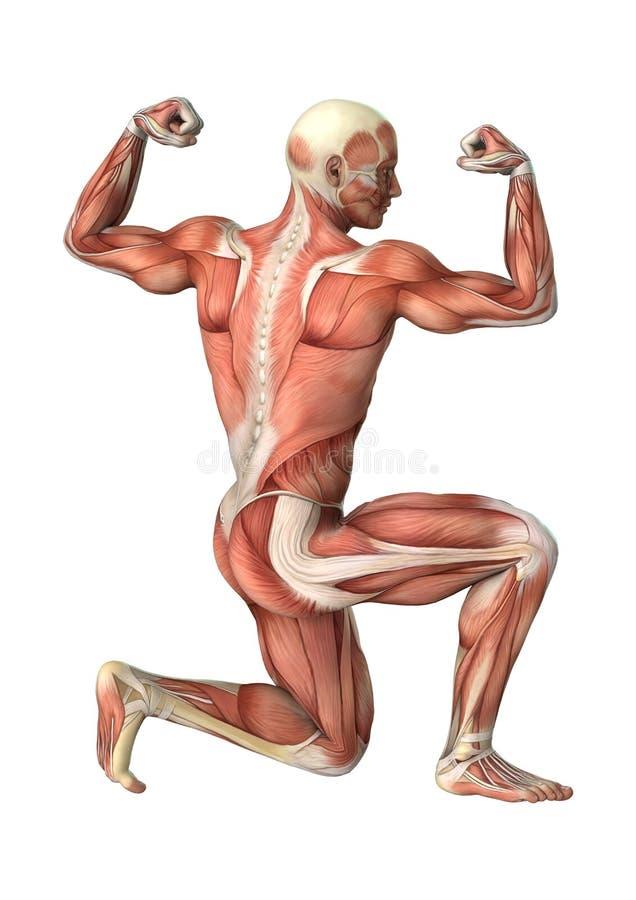männliche Anatomie-Zahl der Wiedergabe-3D auf Weiß lizenzfreie abbildung