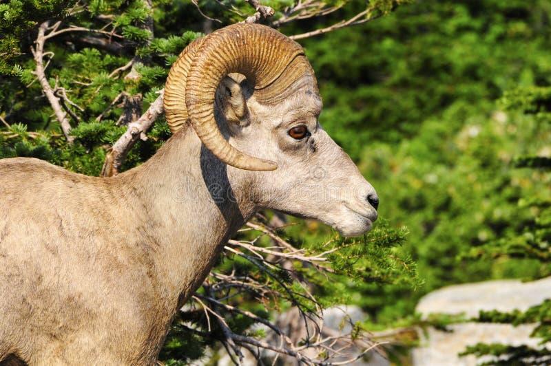 Männliche Big Horn-Schafe stockfoto