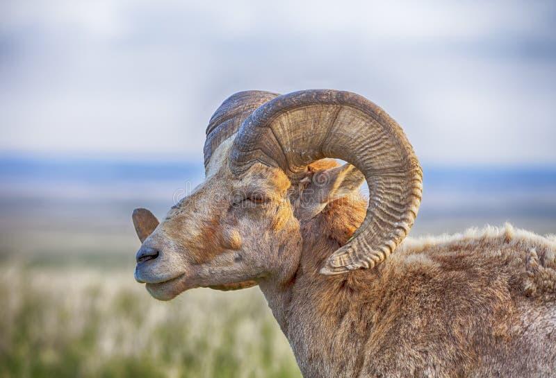 Männliche Bighorn-Schafe mit Hörnern lizenzfreies stockbild