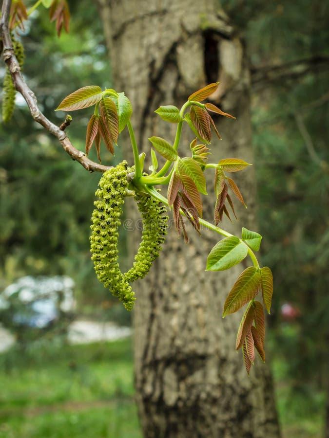 Männliche Blume der englischen Walnuss, lateinische Name Juglans Regia lizenzfreie stockfotografie