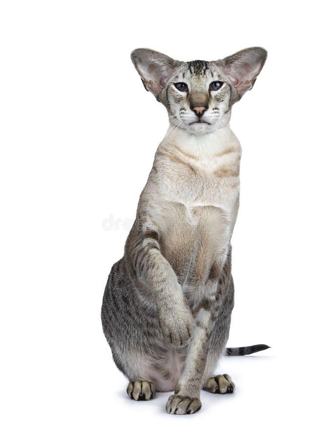 Männliche erwachsene Katze der hübschen siamesischen getigerten Katze auf weißem Hintergrund lizenzfreie stockfotografie