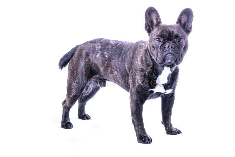 Männliche französische Bulldogge auf Weiß lizenzfreies stockfoto