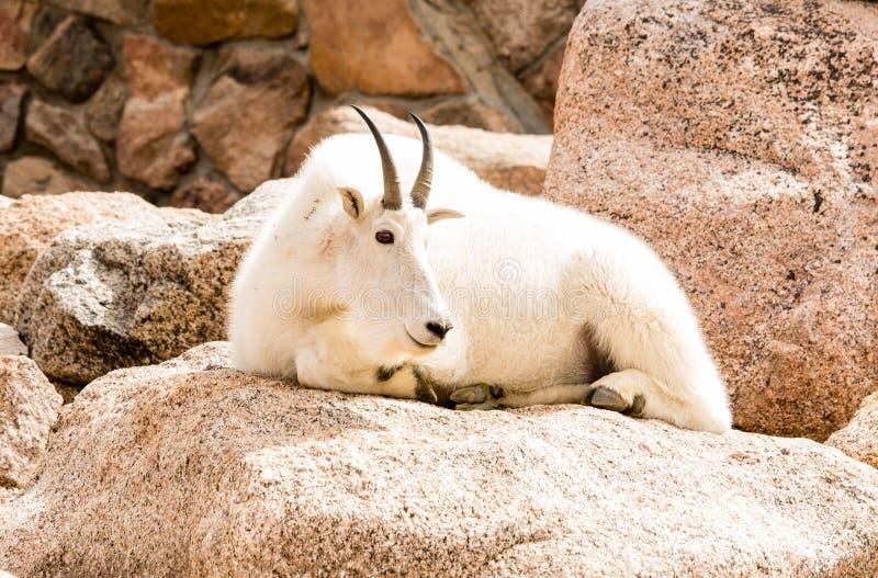 Männliche Gebirgsziege an der Spitze Mt Evans Colorado lizenzfreie stockfotos