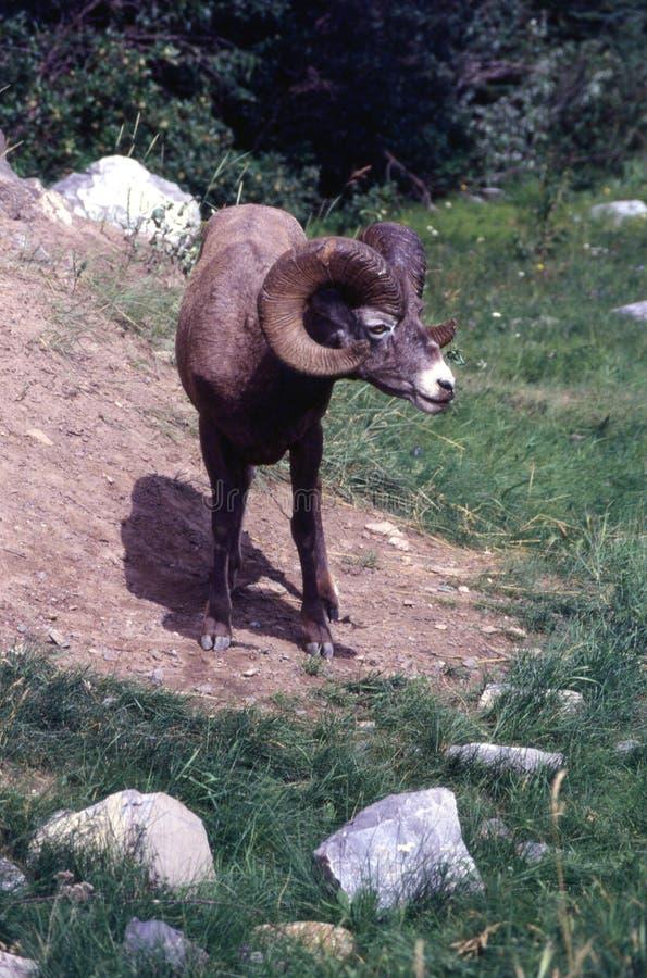 Männliche große Hupen-Schafe stockfotografie
