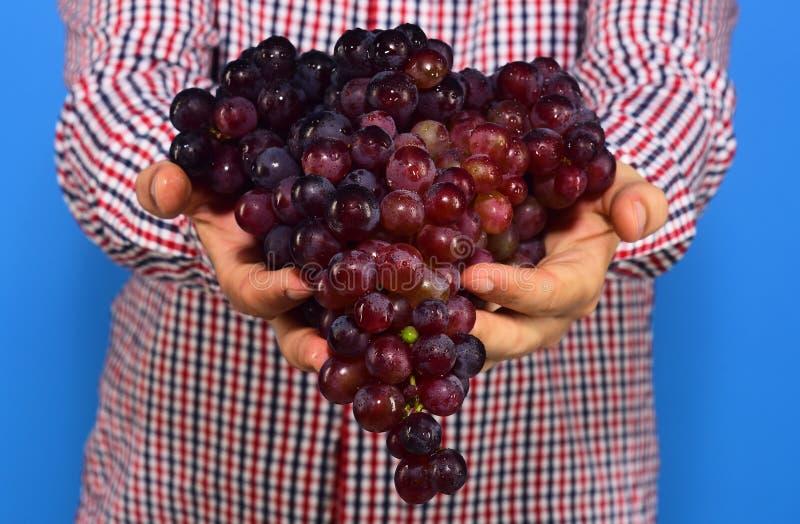Männliche Hände der Landwirtshow-Ernte halten Bündel reife Trauben stockbild
