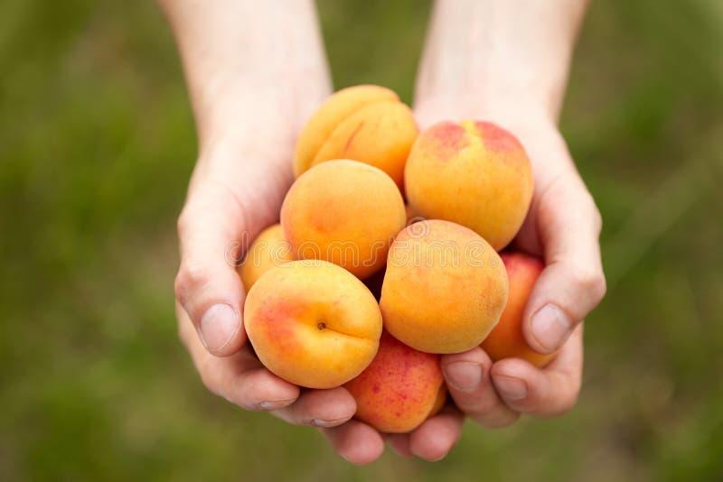 Männliche Hände, die Aprikosen halten stockbild