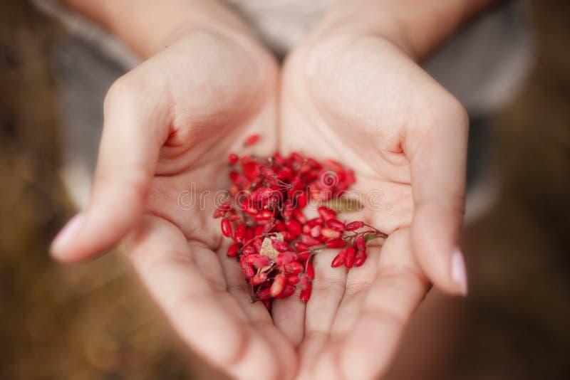 Männliche Hände, die rote cornel Beeren-Kornelkirschen nah herauf defocused Hintergrundsommer halten Frisches wildes der hellen H lizenzfreie stockbilder