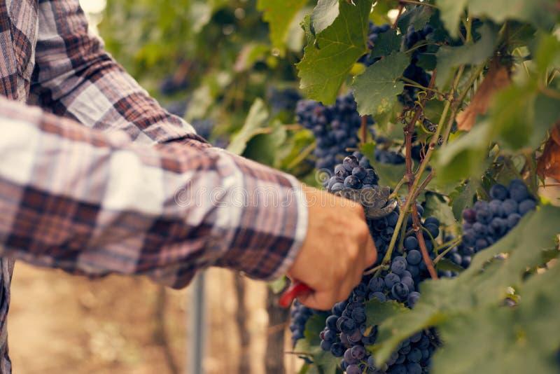 Männliche Hände mit Gartenbaumschere an der Ernte lizenzfreies stockbild