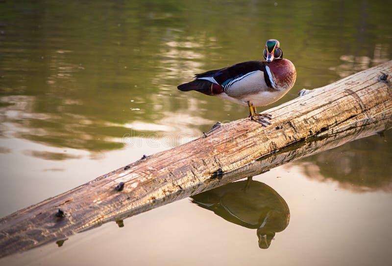 Männliche hölzerne Ente auf einem Klotz über Wasser lizenzfreie stockfotografie