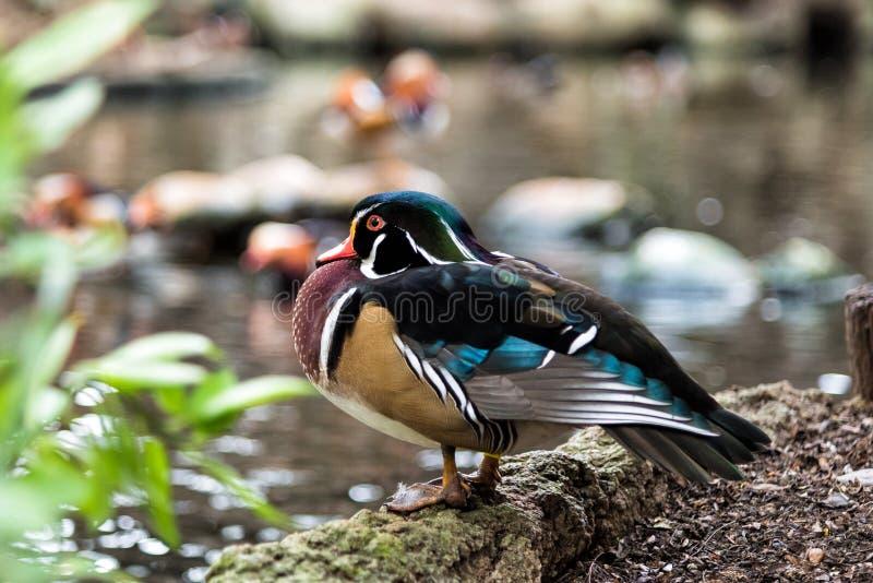 Männliche hölzerne Ente ist stehender naher Sumpf lizenzfreies stockfoto