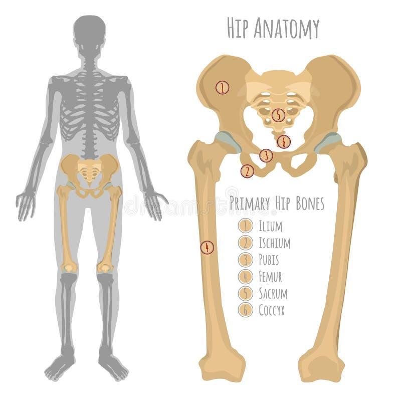 Männliche Hüftenknochenanatomie Vektor Abbildung - Illustration von ...