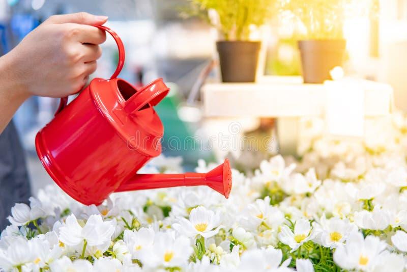 Männliche Handholdinggießkanne über weißer Blume lizenzfreie stockfotos