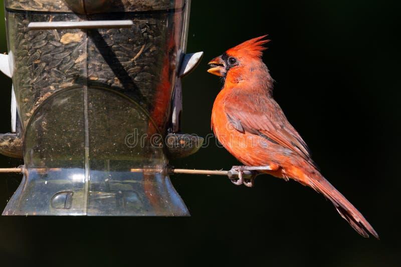 Männliche hauptsächliche Cardinalis-Nordcardinalis, die Frühstück an einer Hinterhofvogelzufuhr essen lizenzfreie stockfotografie