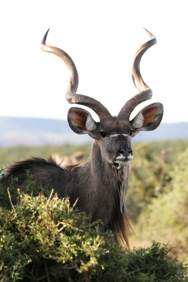 Männliche Kudu Antilope lizenzfreies stockbild