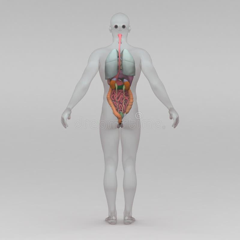 Beste Männlicher Brustkorb Anatomie Bilder - Anatomie Ideen ...