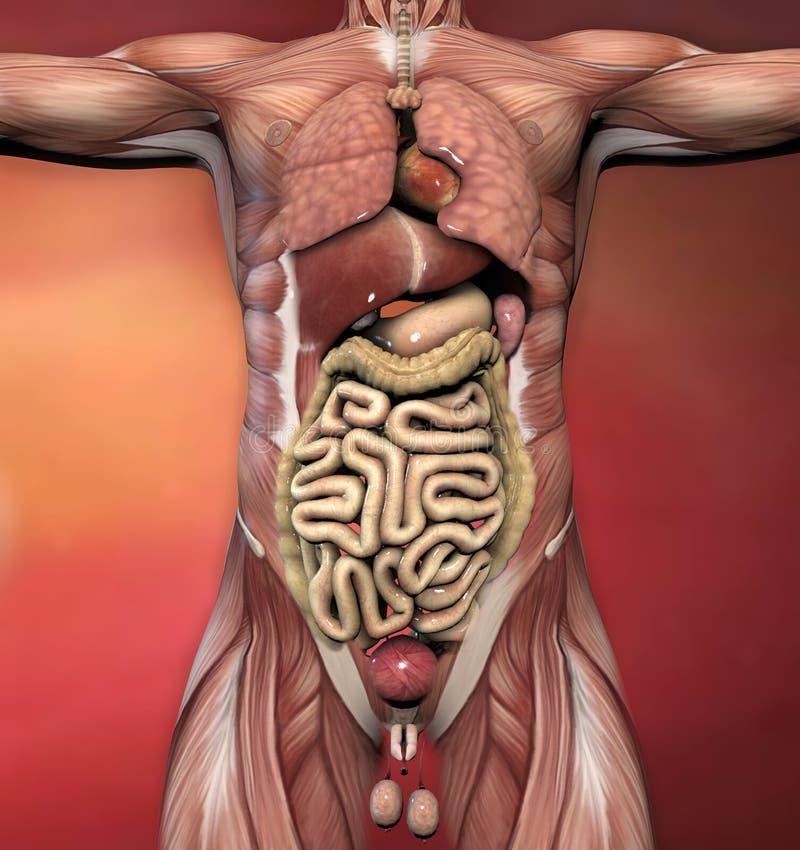Männliche Menschlicher Körper-Anatomie Stock Abbildung ...