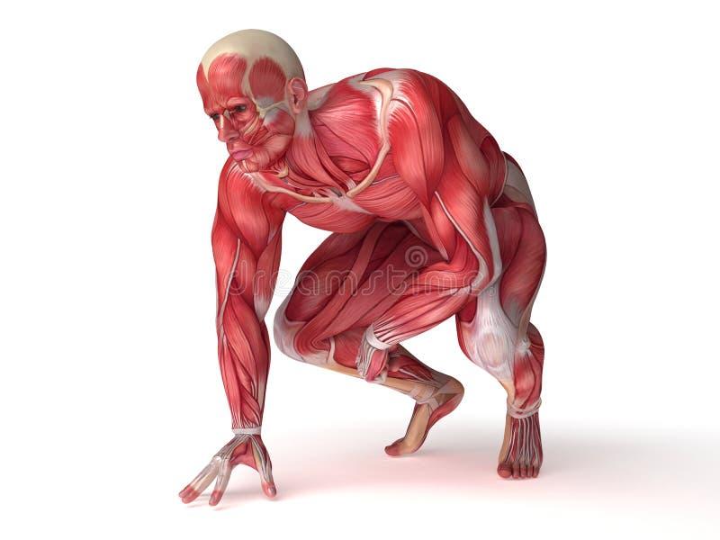 Männliche Muskelanatomie stock abbildung. Illustration von ...