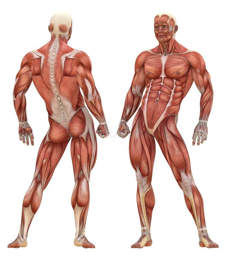 Männliche muskulöse System-Anatomie stock abbildung