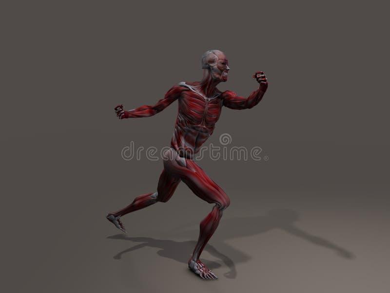 Männliche Muskulatur in der Aktion vektor abbildung