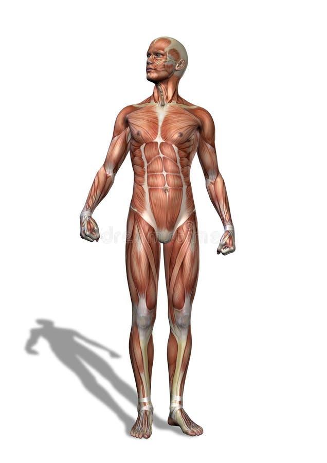 Männliche Muskulatur-Stellung vektor abbildung