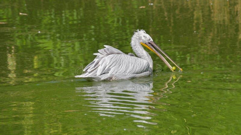 Männliche Pelikanschwimmen im Wasser des Teichs, mit etwas Nahrung in seinem Schnabel lizenzfreie stockfotografie