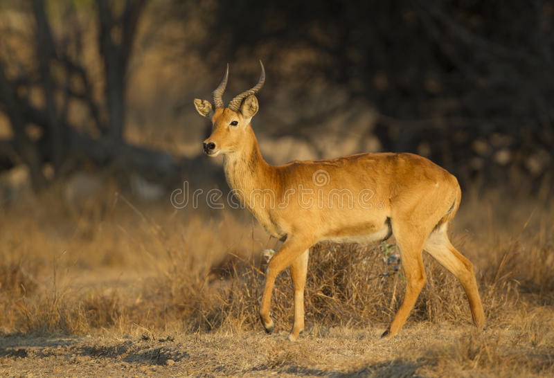 Männliche Puku-Antilope lizenzfreie stockfotografie