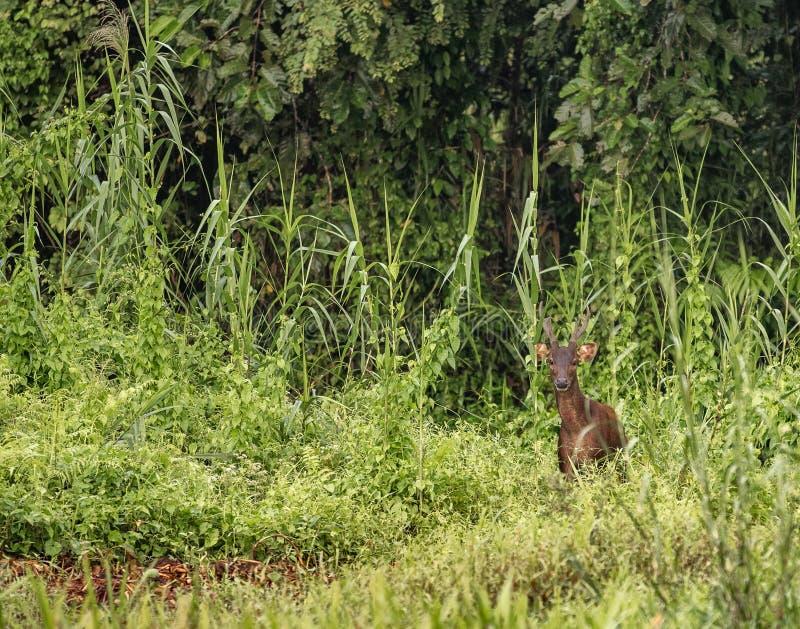 Männliche Sambarrotwild im wilden Dschungel in Kinabatangan-Fluss, Malaysia lizenzfreie stockfotos