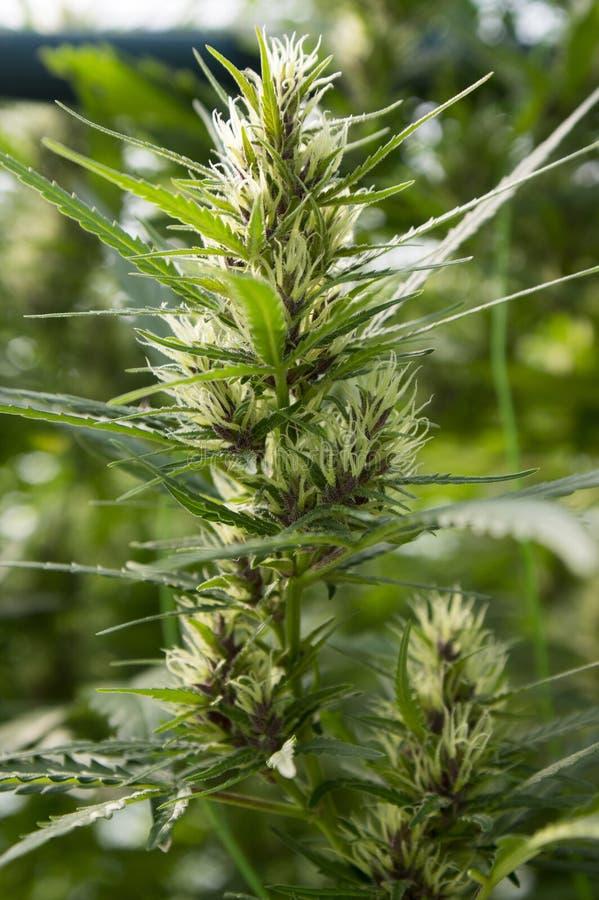 Männliche Sativaanlage des Hanfs in der Blüte lizenzfreie stockfotos
