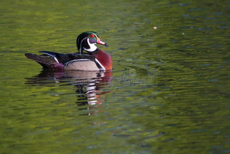 Männliche Schwimmen der hölzernen Ente stockfotografie
