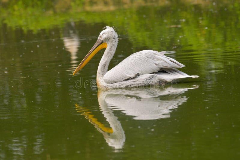 männliche Schwimmen des Pelikans im Wasser des Teichs lizenzfreie stockfotos