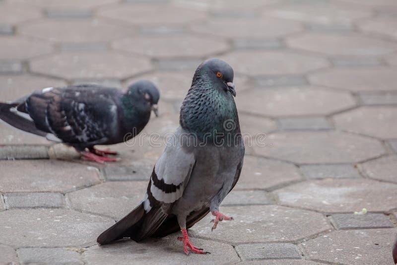 Männliche Tauben schwellen und bewegt auf die Aufmerksamkeit von Frauen stockfotografie