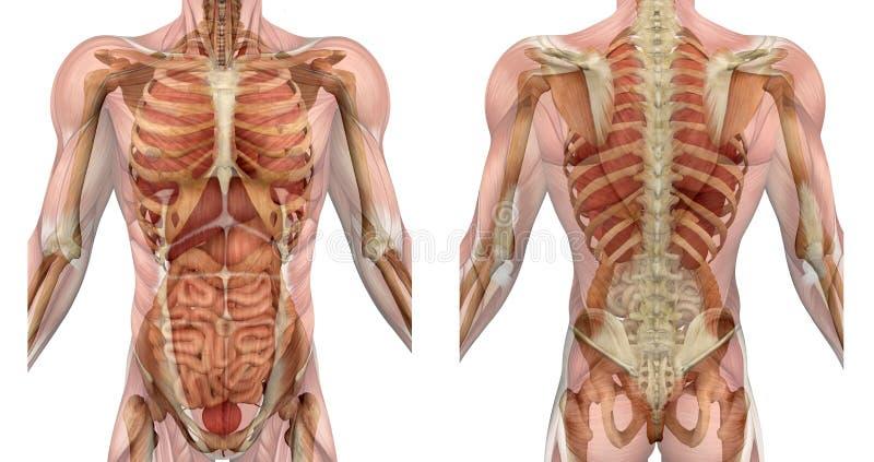 Männliche Torso-Frontseite und Rückseite mit den Muskeln und den Organen lizenzfreie abbildung