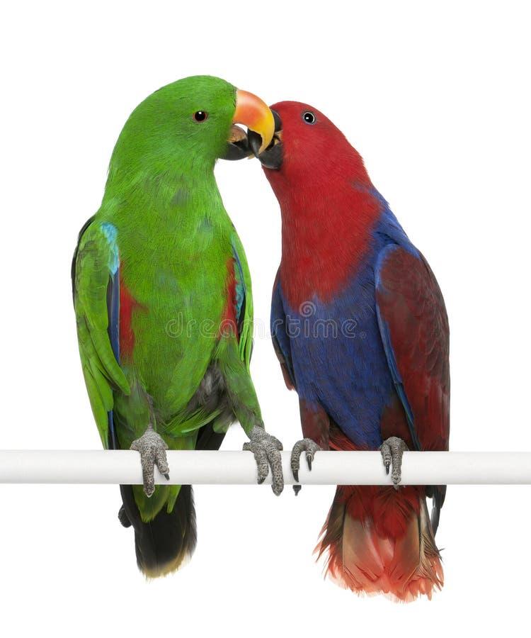 Männliche und weibliche Eclectus Papageien lizenzfreie stockfotos