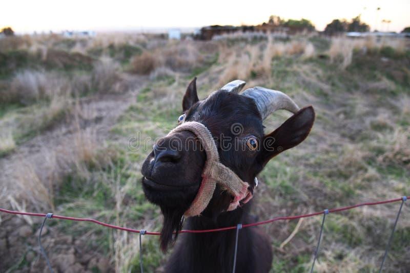 Männliche Ziege, die über einem Zaun schaut stockfoto