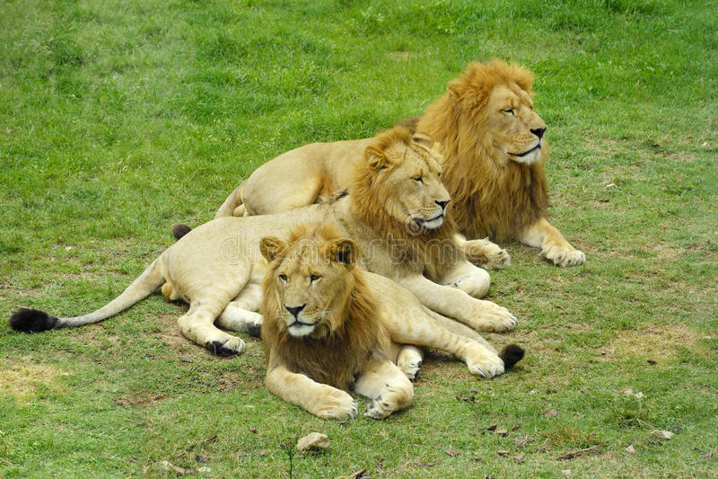 Männlicher afrikanischer Löwe lizenzfreie stockbilder