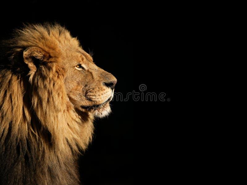 Männlicher afrikanischer Löwe auf Schwarzem stockbilder