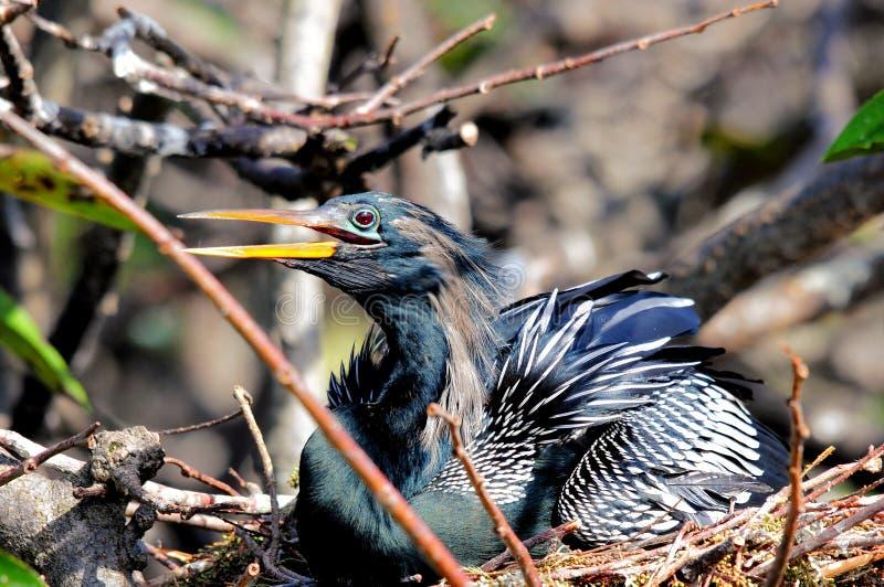 Männlicher Anhinga im Nest in den Sumpfgebieten, Süd-Florida stockfotografie