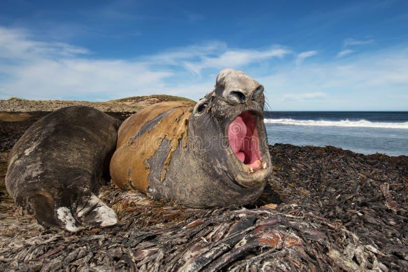 Männlicher brüllender See-Elefant, Falklandinseln lizenzfreies stockbild